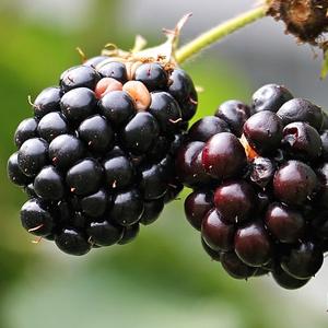 brombeere-fruchtpulver
