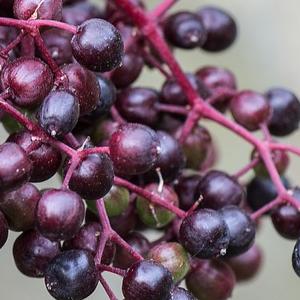 holunder-fruchtpulver
