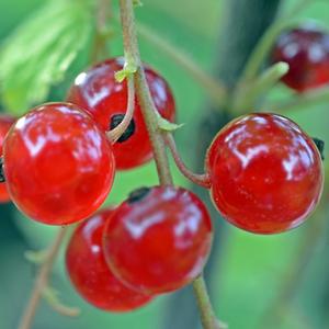 johannisbeer-fruchtpulver