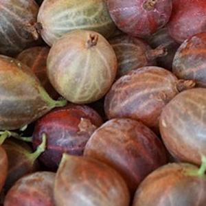 stachelbeere-fruchtpulver