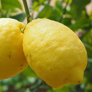 zitrone-fruchtpulver